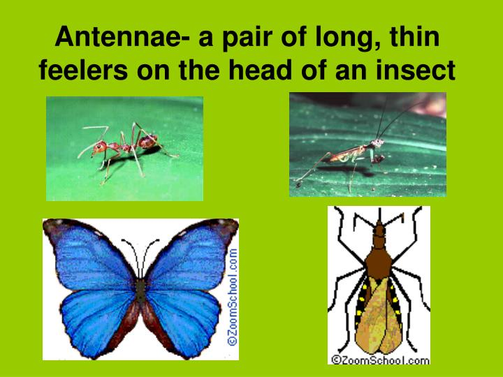 Antennae- a pair of long, thin feelers on the head of an insect