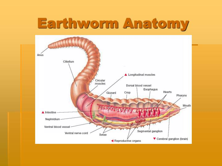 earthworm anatomy - photo #3