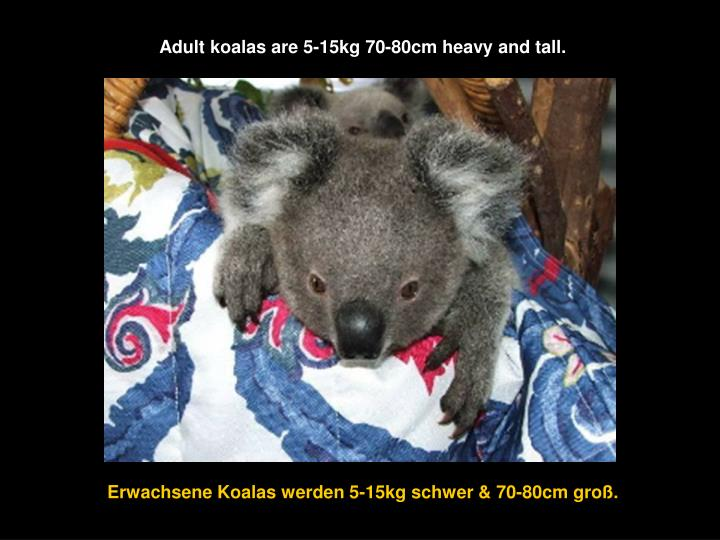 Adult koalas are 5-15kg 70-80cm heavy and tall.