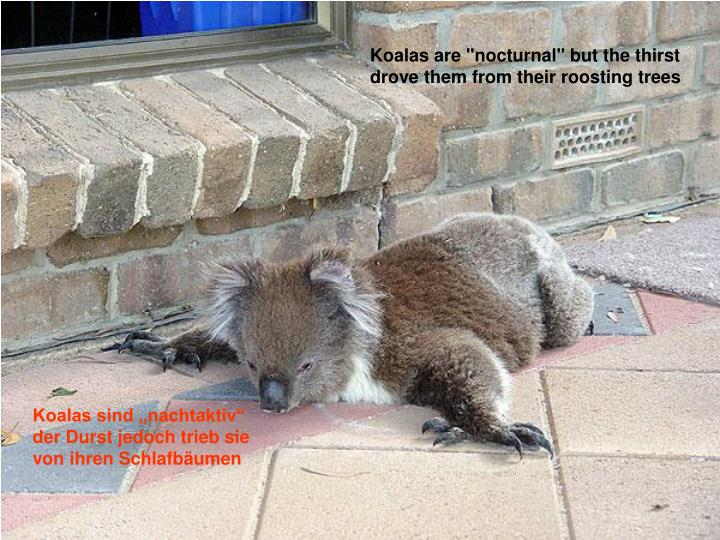 """Koalas are """"nocturnal"""" but the thirst"""