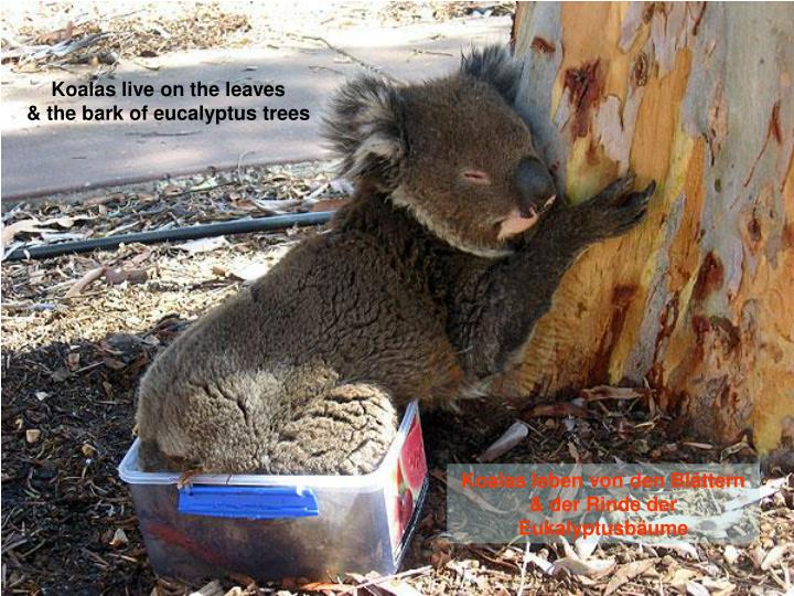 Koalas live on the leaves