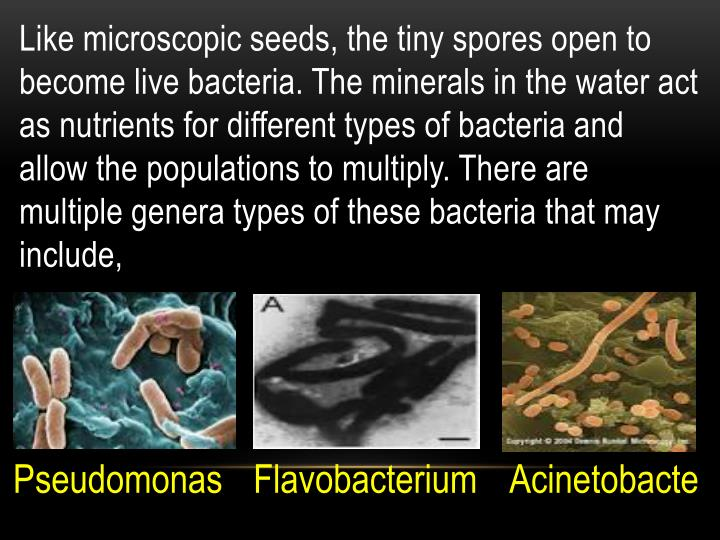 Like microscopic seeds, the tiny spores open to become live bacteria. The minerals in the water act as nutrients for different types of bacteria and allow the populations to multiply. There are multiple genera types of these bacteria that may