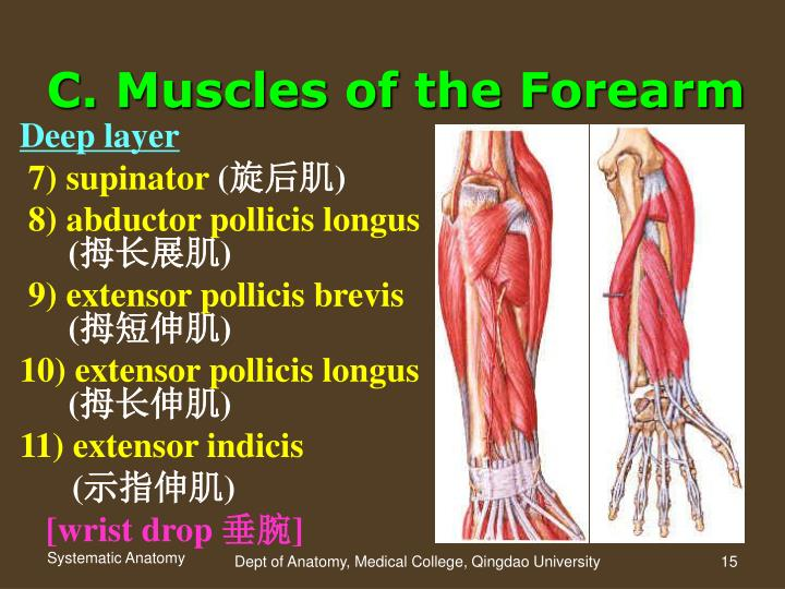 PPT - Section 4 Muscle of the Upper Limb PowerPoint Presentation ...
