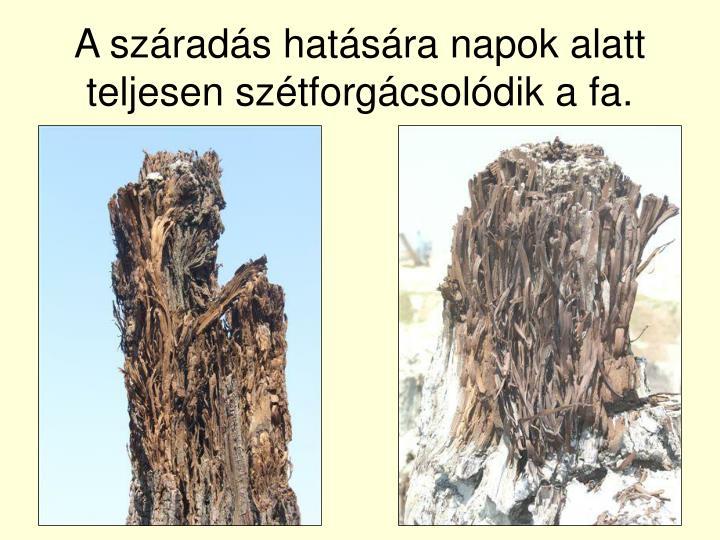 A száradás hatására napok alatt teljesen szétforgácsolódik a fa.