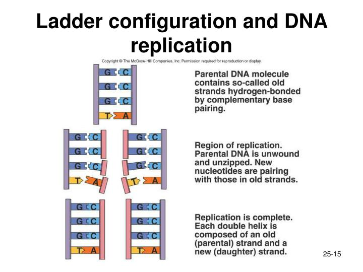 Ladder configuration and DNA replication