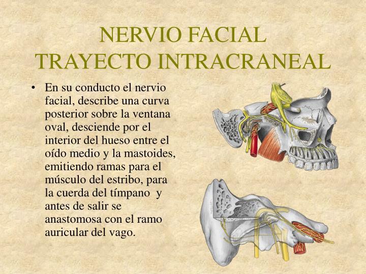 PPT - NERVIO FACIAL NERVIO AUDITIVO PowerPoint Presentation - ID:5275196