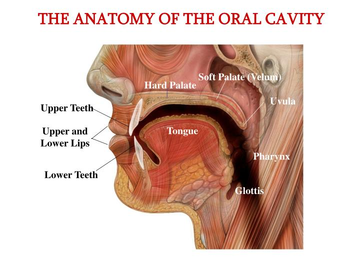 PPT - THE ANATOMY OF THE ORAL CAVITY PowerPoint Presentation - ID ...