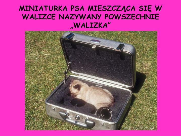 Miniaturka psa mieszcz ca si w walizce nazywany powszechnie walizka