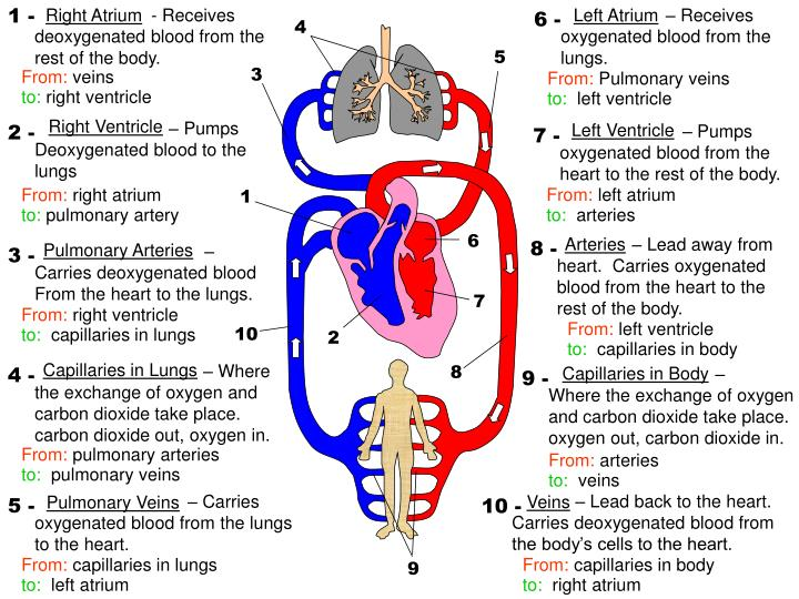 Ppt Right Ventricle Pumps Deoxygenated Blood To The Lungs