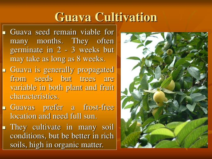 Guava Cultivation