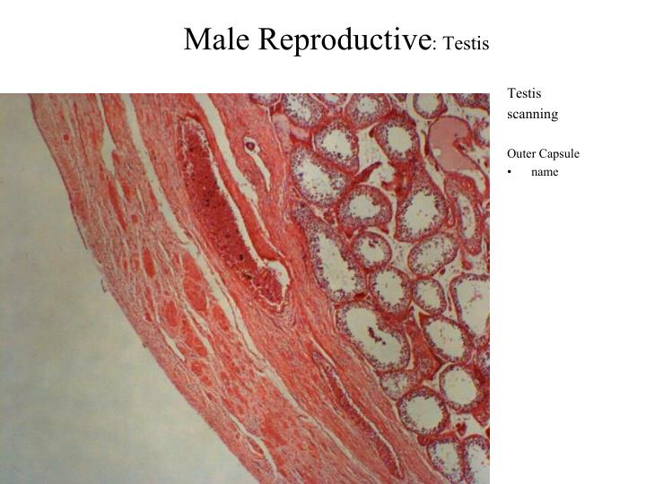 Male reproductive testis