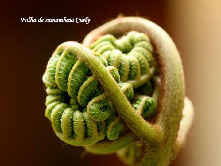 Folha de samambaia Curly
