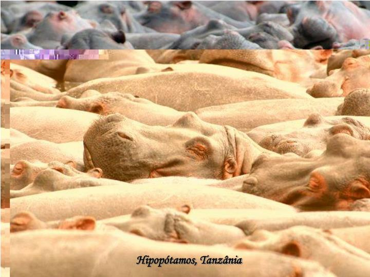 Hipopótamos, Tanzânia