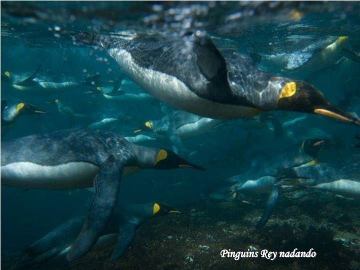 Pinguins Rey nadando