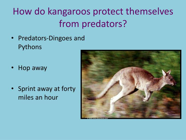 How do kangaroos protect themselves from predators?