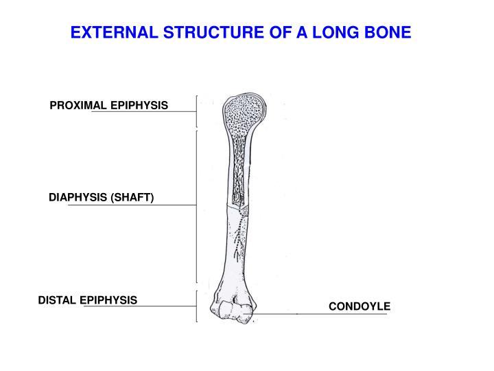 EXTERNAL STRUCTURE OF A LONG BONE