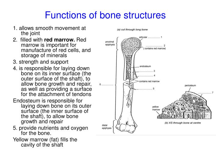 Functions of bone structures