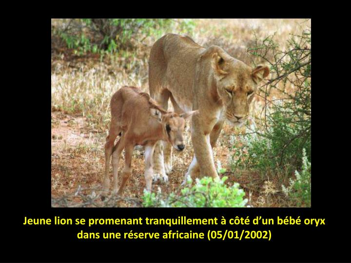 Jeune lion se promenant tranquillement à côté d'un bébé oryx dans une réserve africaine (05/01/2002)