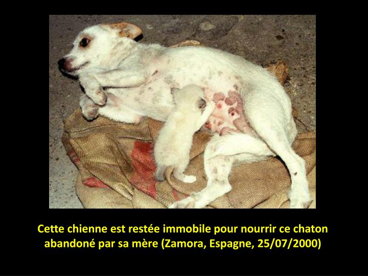 Cette chienne est restée immobile pour nourrir ce chaton abandoné par sa mère (Zamora, Espagne, 2...