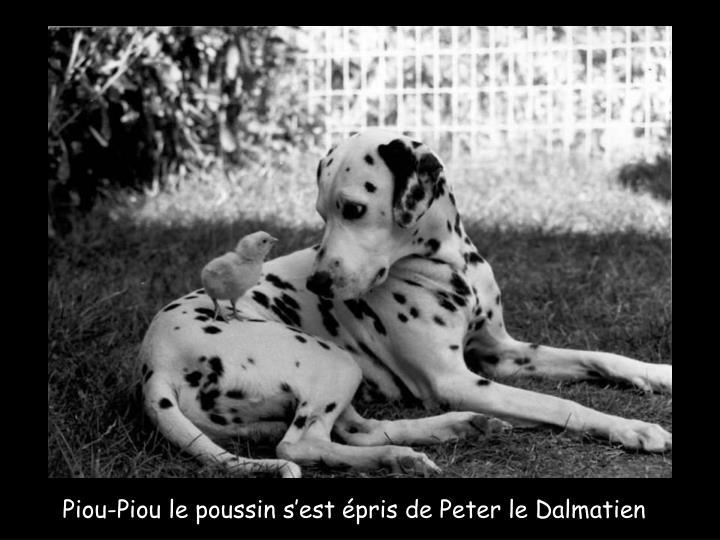 Piou-Piou le poussin s'est épris de Peter le Dalmatien