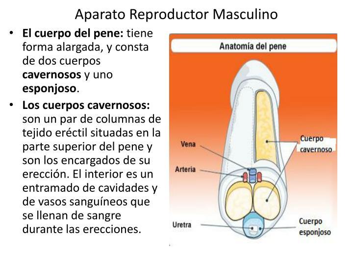 Moderno La Anatomía Del Cuerpo Cavernoso Fotos - Anatomía de Las ...