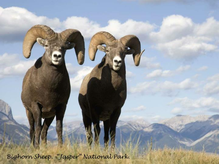 "Bighorn Sheep.  ""Jasper"" National Park."