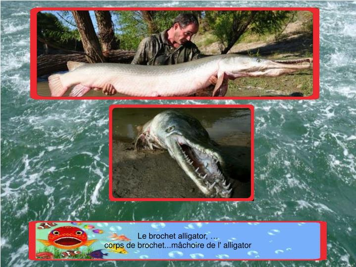 Le brochet alligator, …