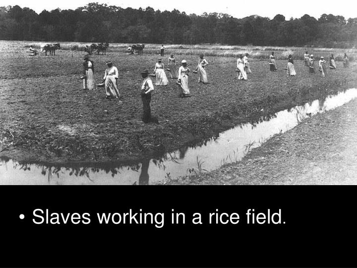 Slaves working in a rice field