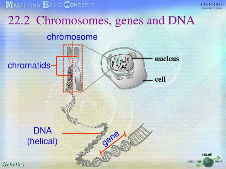 22.2 	Chromosomes, genes and DNA