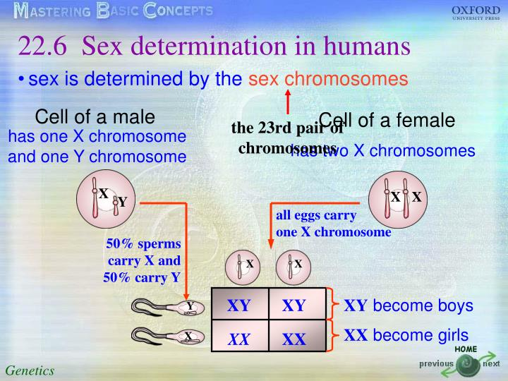 22.6	Sex determination in humans