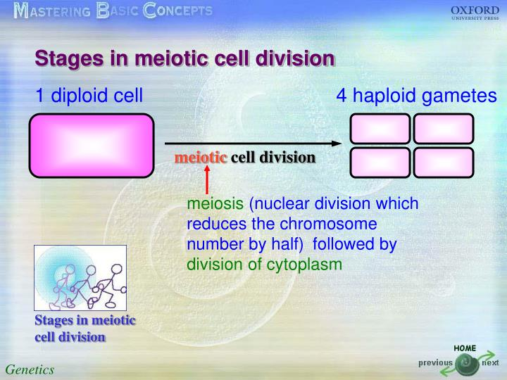 Stages in meiotic cell division
