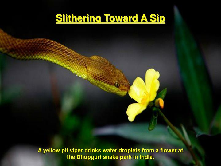 sip for yellow bell
