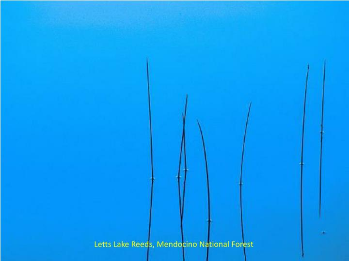 Letts Lake Reeds, Mendocino National Forest