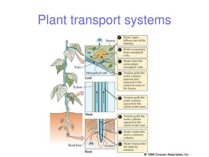 Ppt transport in plants powerpoint presentation id:5312144.