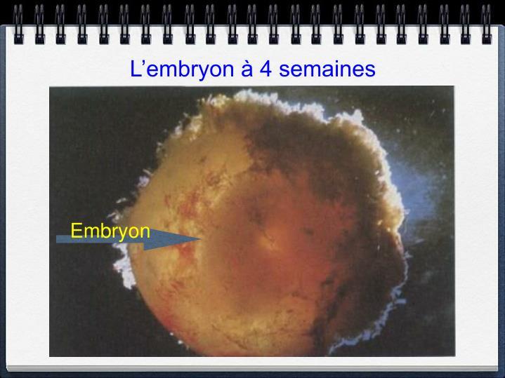 L'embryon à 4 semaines