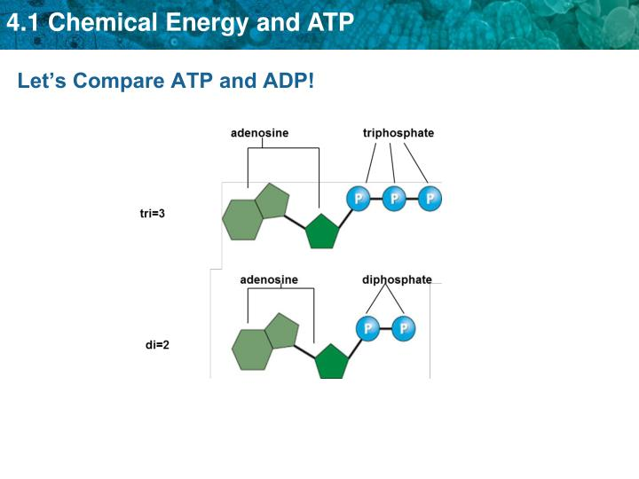 Let's Compare ATP and ADP!