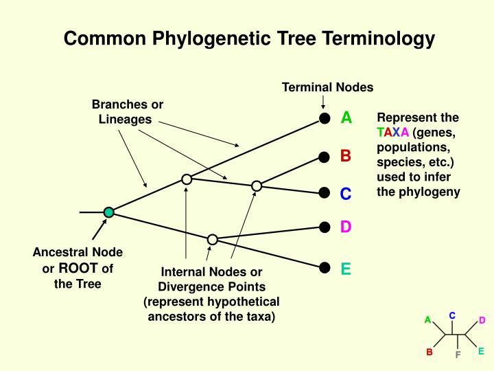Common Phylogenetic Tree Terminology