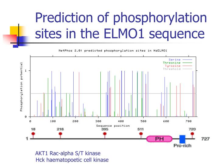 Prediction of phosphorylation sites in the ELMO1 sequence