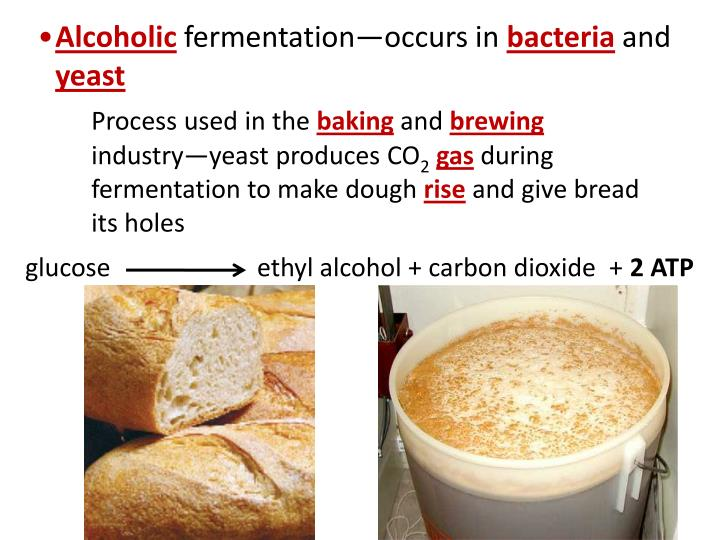 an experiment using yeast to produce alcohol and carbon dioxide