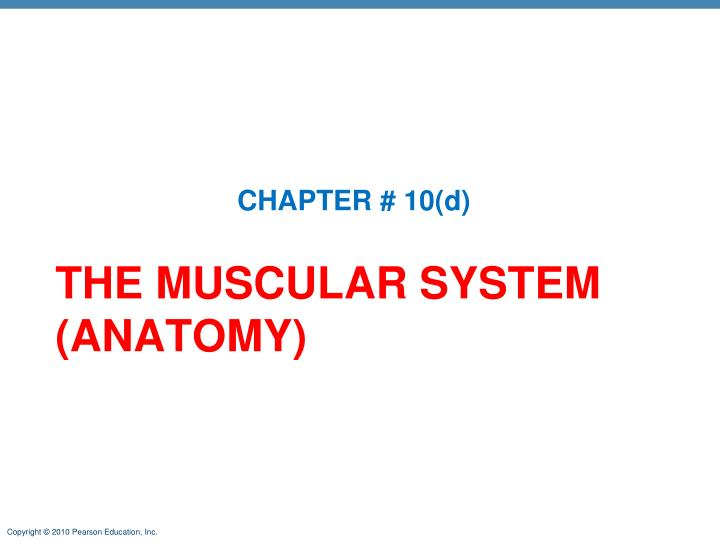 the muscular system anatomy n.