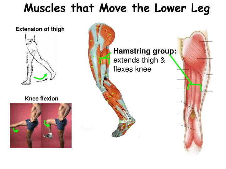 Ppt Muscles Powerpoint Presentation Id5321503