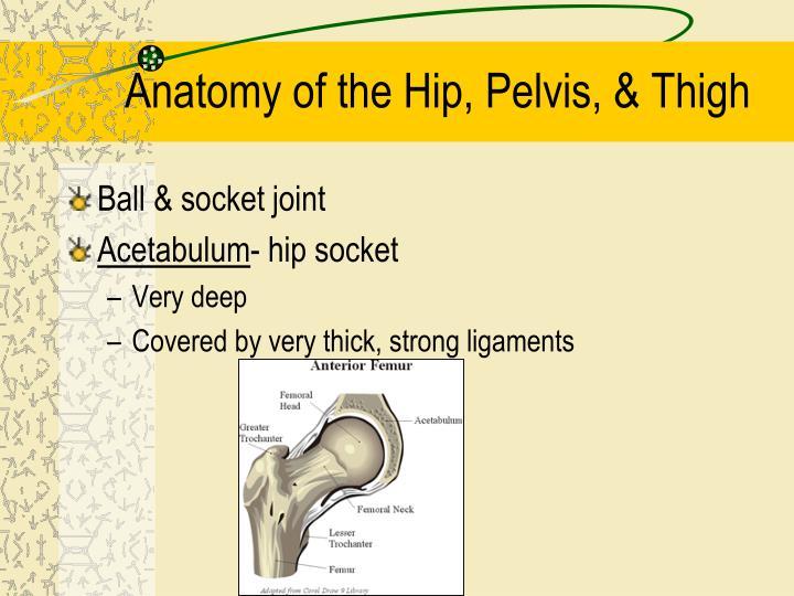 Anatomy of the hip pelvis thigh