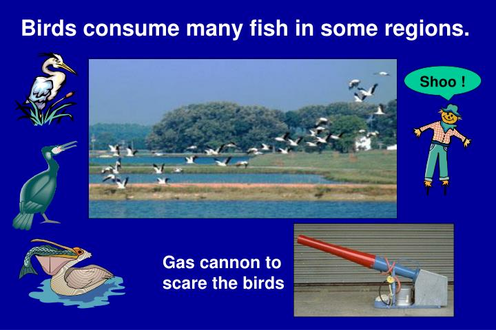 Birds consume many fish in some regions.