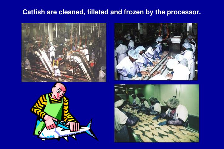 Catfish are cleaned, filleted and frozen by the processor.