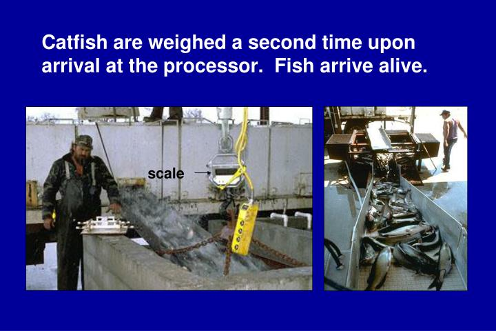 Catfish are weighed a second time upon arrival at the processor.  Fish arrive alive.