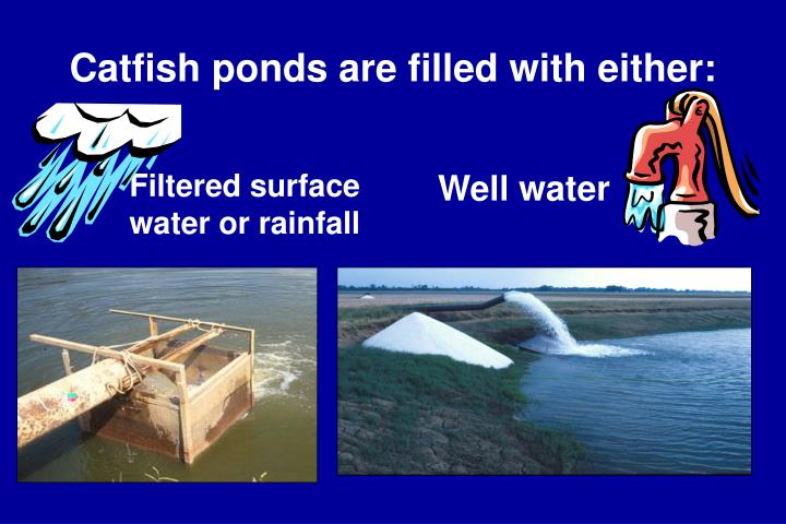 Catfish ponds are filled with either: