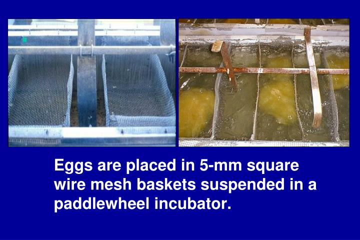 Eggs are placed in 5-mm square