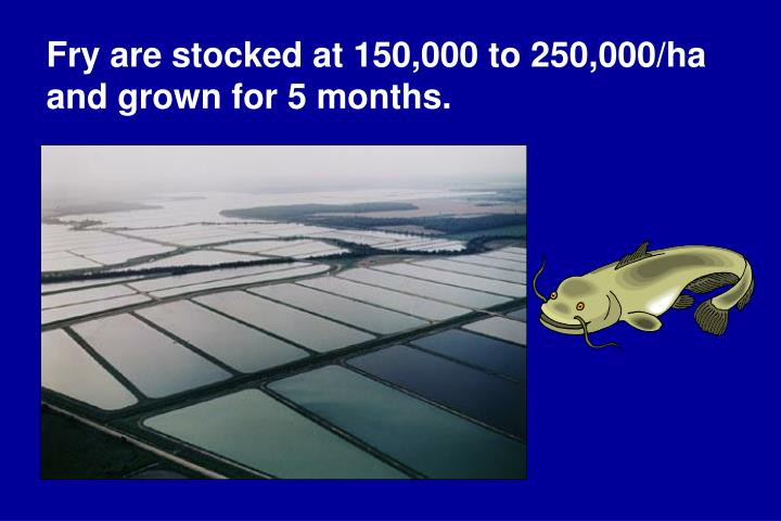 Fry are stocked at 150,000 to 250,000/ha and grown for 5 months.