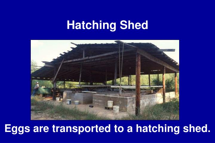 Hatching Shed