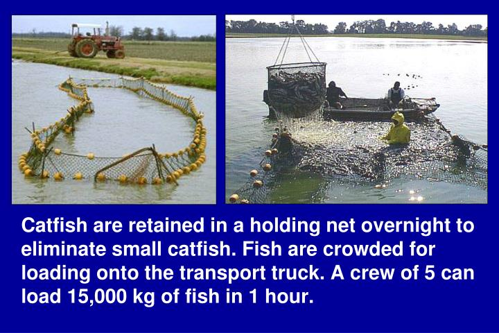 Catfish are retained in a holding net overnight to eliminate small catfish. Fish are crowded for loading onto the transport truck. A crew of 5 can load 15,000 kg of fish in 1 hour.